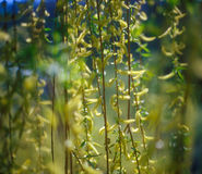 Spring branches of willow. Stock Photography