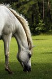 Spring Breeze. Grey Arabian Mare Grazing with mane blowing in wind Royalty Free Stock Images