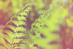 Spring bright green fern Royalty Free Stock Photo