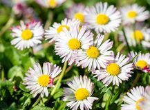 Spring bright landscape with beautiful wild flowers camomiles in green grass stock images