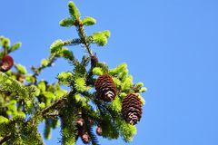 Spring, the bright sun and red bumps on the spruce. In the park stock photography