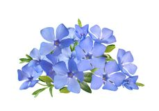 Bright violet wild periwinkle flower bouquet Royalty Free Stock Image