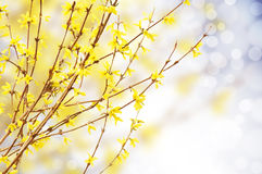 Spring bright yellow of blooming forsythia ,natur Royalty Free Stock Photos