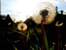 Spring. Brightness through dandelions Stock Images