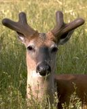 Spring Buck. Whitetail deer uck in early antler development Stock Images