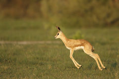 Spring buck calf Royalty Free Stock Image