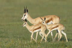 Spring buck family Stock Photos