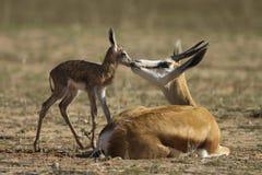 Spring buck mother and calf. Stock Photos