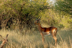 Spring buck Royalty Free Stock Photography
