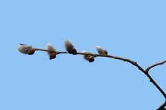 Spring bud. Fuzzy spring buds on branch Stock Photos