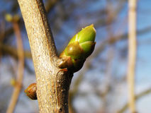 Spring bud. Agains blue sky stock photo
