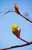 Spring Bud Royalty Free Stock Photography