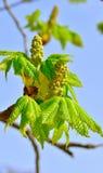 Spring bud of chestnut tree Royalty Free Stock Photo