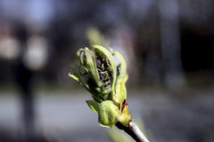 Spring bud close up Stock Image