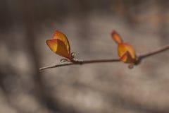 Spring Bud Stock Image