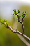 Spring bud of leaves Stock Images