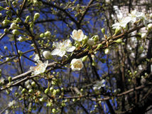 Spring Buds. White flowers blossoming on a tree in spring Royalty Free Stock Photography