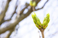 Spring Buds Royalty Free Stock Photography