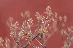 Spring buds. On a pink background Royalty Free Stock Images