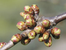 Spring buds. Of cherry tree Stock Image