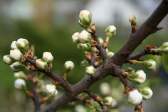 Spring buds. Of cherry tree Stock Photo