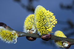Spring buds. Flowers and buds of a tree, picture taken in the late afternoon Royalty Free Stock Photo