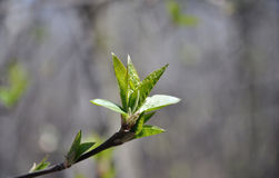The spring buds on the aldertree. The small spring buds on the aldertree with the clear blue sky background royalty free stock photos