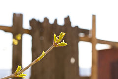 Spring buds bloom. Spring tree buds blossom on the background stock photo