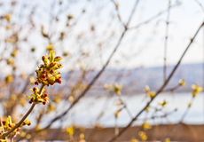 Spring buds bloom. Spring tree buds blossom on the background royalty free stock images