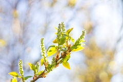 Spring buds bloom. Spring tree buds blossom on the background stock images