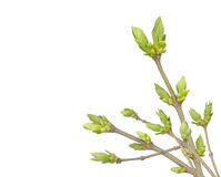 Spring buds on the branch Royalty Free Stock Photo