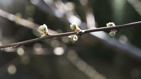 Spring buds on branch of tree stock footage