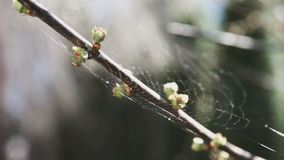 Spring buds on branch of tree stock video footage