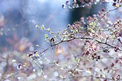 Spring buds on branches, on a colored background. Selective focus. Shallow depth of field. Toned image stock image