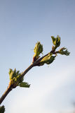 Spring Buds. Closeup of Buds growing in Spring Royalty Free Stock Photography