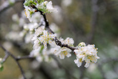 Spring buds and flowers covered in snow. Royalty Free Stock Image