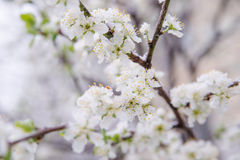 Spring buds and flowers covered in snow Stock Photos