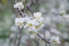 Spring buds and flowers covered in snow Stock Images