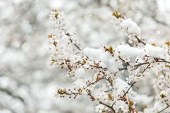 Spring buds and flowers covered in snow Royalty Free Stock Images