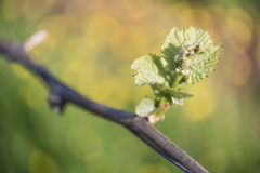 Spring Buds on a Grape Vine. Spring buds sprouting on a grape vine in the vineyard Stock Photography