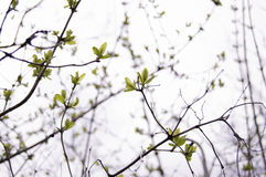 Spring buds Royalty Free Stock Image