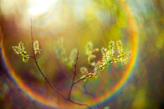 Spring buds and lens flare. Young green spring leaves and buds, fresh nature background with unique lens flare Stock Photos