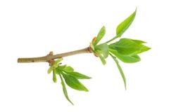 Spring buds. Lilac Royalty Free Stock Photos