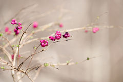 Spring Buds. Pink flower buds appearing on a shrub. Sot near Brentwood, Tn Royalty Free Stock Images