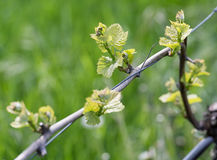 Spring buds sprouting on a grape vine Stock Images
