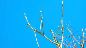 Spring buds swell on the branches on a background the blue sky Stock Images
