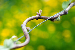 Spring Buds in the Vineyard Royalty Free Stock Images