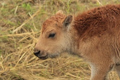 Spring Buffalo Calf. In the Black Hills Stock Image