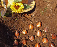 Spring Bulb Planting. Tulip bulbs being planted in the garden Stock Photos