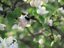 Spring bumblebee Stock Images